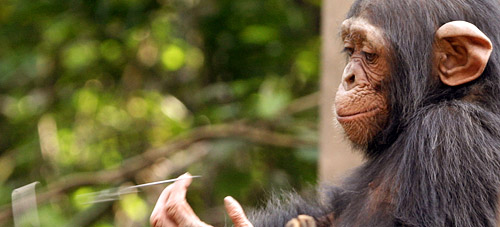 a baby chimpanzee in wildlife shelter in Cameroon, West Africa. Photo by Hagit<br /> Berkovich.