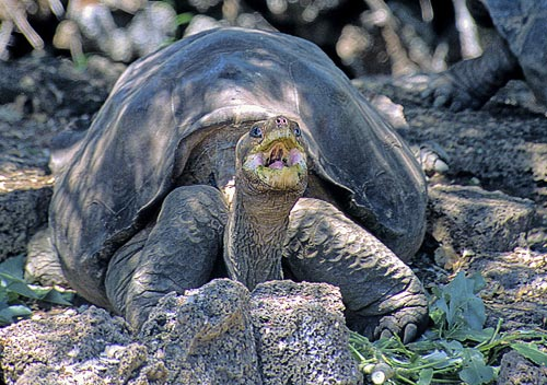 Lonesome George relaxing in his pen at the<br /> Charles Darwin Research Station. Photograph by the author.