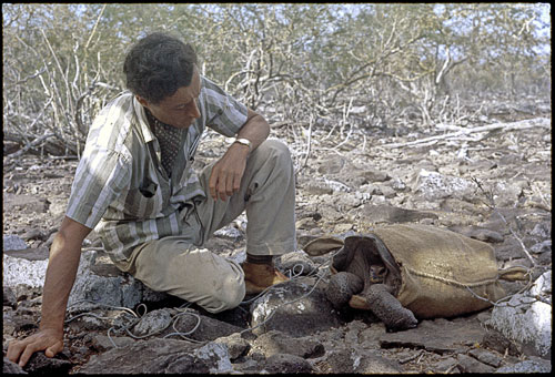 Roger Perry, Director of the Charles Darwin Research Station from 1964 to 1970, preparing to transport, in May 1968, one of the 14 remaining tortoises (a female) from Espanola to a breeding center on Santa Cruz. Photograph by Tjitte de Vries.