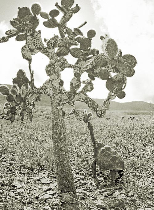 A male saddleback tortoise from Pinzón Island reaching for an Opuntia cactus pad. As a result of natural selection on islands in the Galápagos where tortoises are found, Opuntia have evolved into tree forms, reaching a height of 12 meters. On islands where tortoises have never been present, Opuntia form clumps along the ground, reaching a maximum height of only 2 meters. The close relationship between cacti and tortoises represents a classic case of coevolution. Photograph by the author.