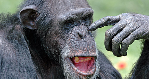 chimpanzee picking nose