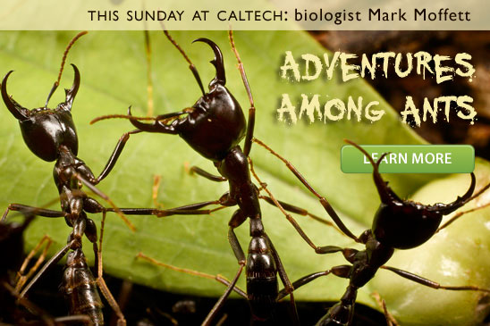 Soldiers of an African army ant that can have colonies of 20,000,000 workers capable of killing cattle (photo copyright © Mark W. Moffett, used with permission)