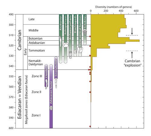 Figure 1: Timescale of the Cambrian diversification event, showing the gradual and stepwise increase in diversity through the first three stages of the Early Cambrian. Meyer's book completely ignores the existence of the first two stages (Nemakit-Daldynian and Tommotian Stages), and falsely asserts that all Cambrian forms abruptly arose in the third stage of the Cambrian (Atdabanian) stage, some 15 million years after the true beginning of the Cambrian.