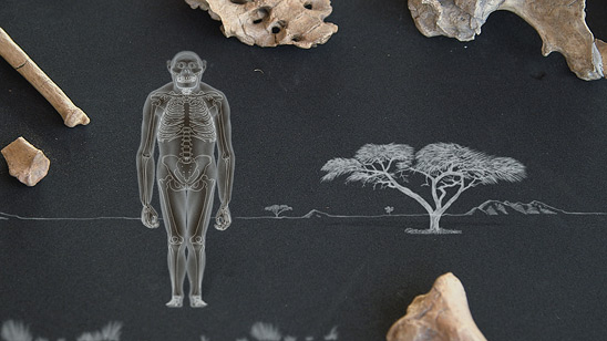 Hominids like this Australopithecus afarensis have knees angled inward, enabling a more efficient gait. Humans walk in the same way. (Courtesy of Jellyfish Pictures)