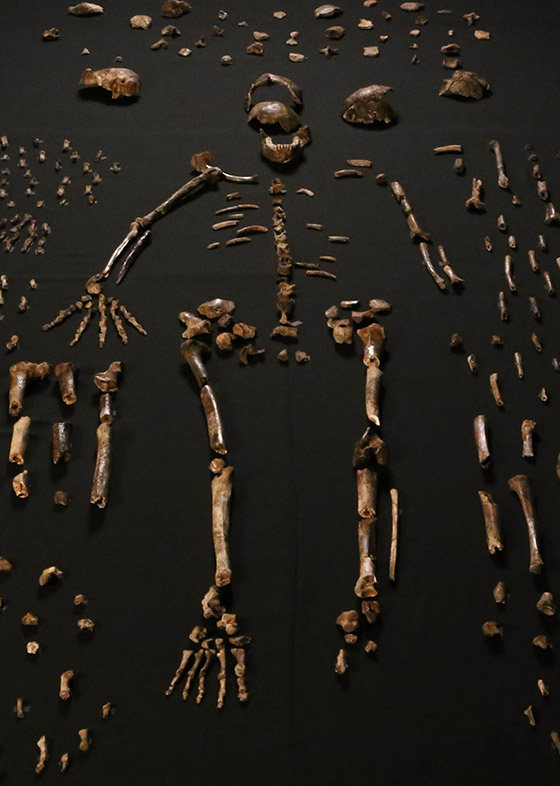 Homo naledi skeletal specimens by Lee Roger Berger research team [CC BY 4.0], via Wikimedia Commons