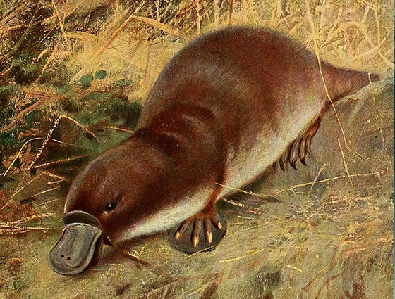 Duckbill Platypus, plate 34 of Wild Life of the World: A Descriptive Survey of the Geographical Distribution of Animals Volume III, by Richard Lydekker (London; F. Warne and co., 1916) via the Biodiversity Heritage Library [Public Domain]