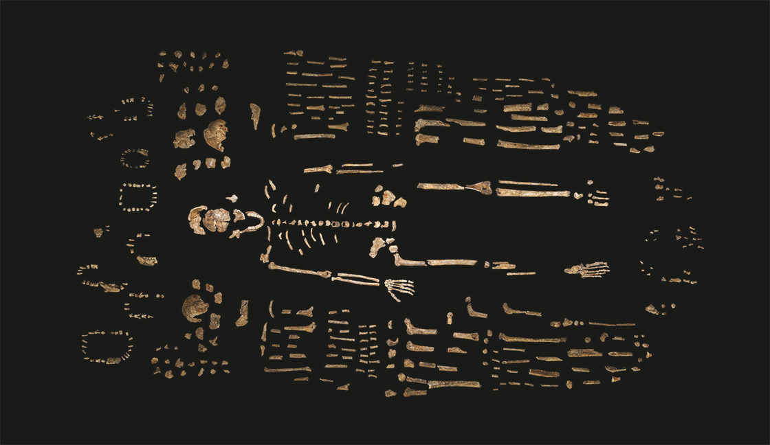 Composite skeleton of Homo naledi, surrounded by fossil fragments. (Credit: Robert Clark/National Geographic, Lee Berger/Wits University). Click image to enlarge.