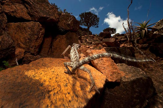 The native animals on Socotra include several species of birds and 29 endemic reptiles, including the Socotra chameleon, Chameleon monachus.