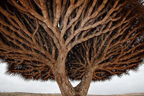 Dracaena cinnabari is one of many plant species unique to Socotra, an archipelago in the Arabian Sea. (Photograph copyright Mark W. Moffett)