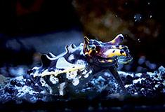 Flamboyant Cuttlefish (Aquarium of the Pacific)