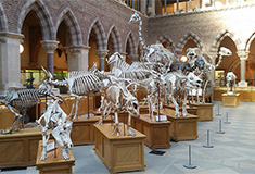 Dinosaur exhibits at the Oxford University Museum of Natural History