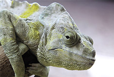 Chamaeleon at the Bristol Zoo, by Airwolfhound from Hertfordshire, UK [CC BY-SA 2.0], via Wikimedia Commons