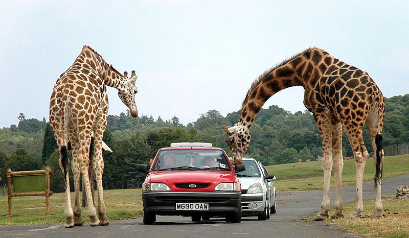 Giraffes at the West Midlands Safari Park