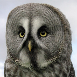 Lumpy great grey owl (photo courtesy of the Gauntlet Birds of Prey Eagle and Vulture Park)