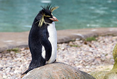 Northern rockhopper penguin (Eudyptes c. moseleyi) in ZSL London Zoo, by Katie Chan (own work) [CC BY-SA 4.0 (http://creativecommons.org/licenses/by-sa/4.0)], via Wikimedia Commons