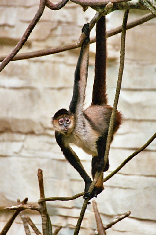 The spider monkey, a typical platyrrhine. (Image Courtesy WIkimedia Commons).