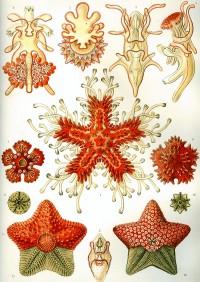 Haeckel's asteridea drawing.
